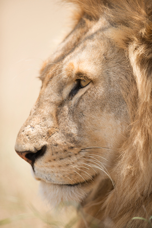 Closeup shot of young male lion in Serengeti National Park, Tanzania