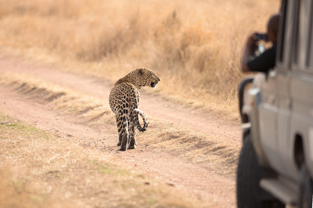 African leopard Panthera pardus in Serengeti National Park, Tanzania