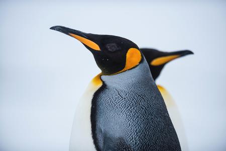 King penguin, Antarctica