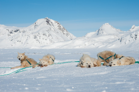 Greenland sled dogs resting before hard working