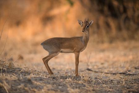 Kirks Dik-Dik in Serengeti National Park, Tanzania