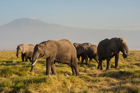 A herd of elephant, with Mt.Kilimanjaro in background, Amboseli National Park, Kenya Фото со стока