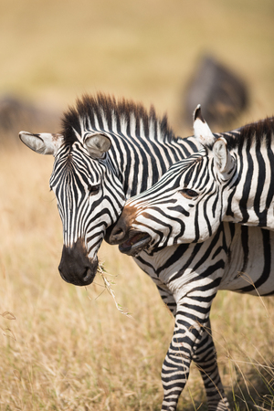 africa kiss: A lovely shot of zebra in Serengeti National Park, Tanzania Stock Photo