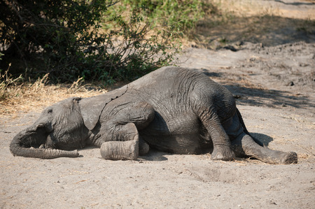 Young elephant dust bathing after the mud bath in Serengeti National Park, Tanzania Фото со стока