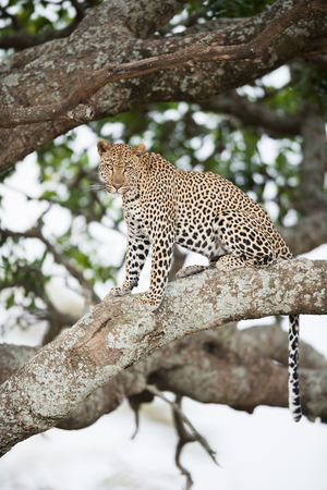 An african leopard sitting in tree Imagens