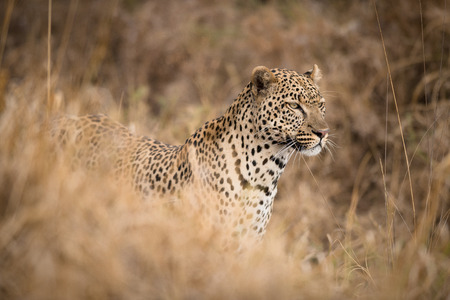 Portrait of African leopard  in the wild