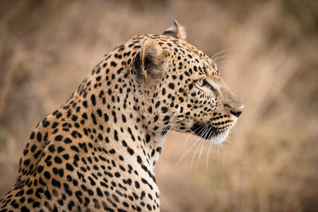 leopard: Portrait of African leopard  in the wild