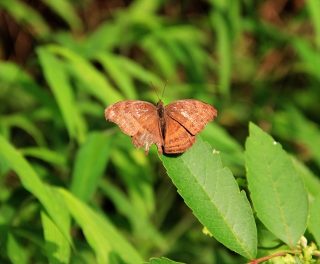 It belongs to Abisara, Riodinidae, Lepidoptera Stock Photo