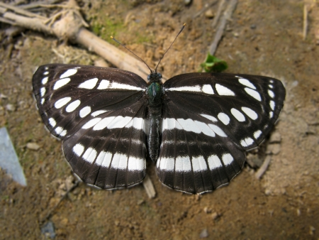 It belongs to Neptis, Nymphalidae, Lepidoptera