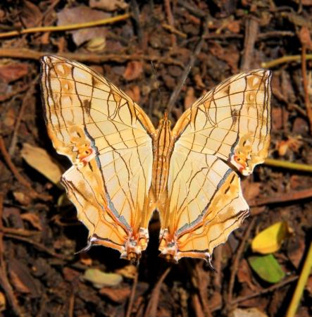 nymphalidae: It belongs to Cyrestis, Nymphalidae