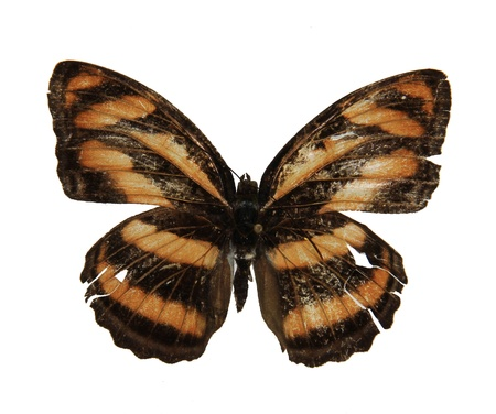 insecta: It belongs to Nymphalidae, Lepidoptera, Insecta We found it in guangzhou, Guangzhou Higher Education Mega Center, south china, summer Stock Photo