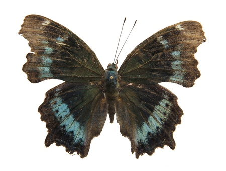 lepidoptera: It belongs to Nymphalidae, Lepidoptera, Insecta We found it in guangzhou, Guangzhou Higher Education Mega Center, south china, summer Stock Photo