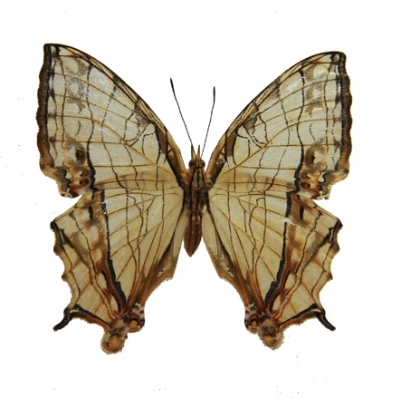 It belongs to Nymphalidae, Lepidoptera, Insecta We found it in guangzhou, Guangzhou Higher Education Mega Center, south china, summer Stock Photo
