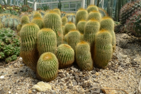 There are Echinopsis tubiflora in Xiamen Botanical Garden