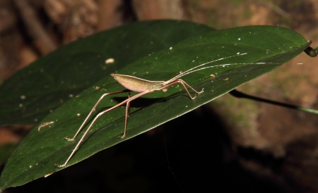 This is a Orthoptera sp  in dinghushan Stock Photo