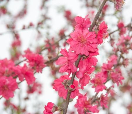 fr�hlingsfest: Prunus persica - Beute f�r Frieden und Gl�ck in Spring Festival
