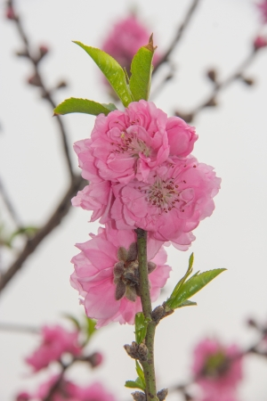 Prunus persica--prey for peace and happiness in Spring Festival