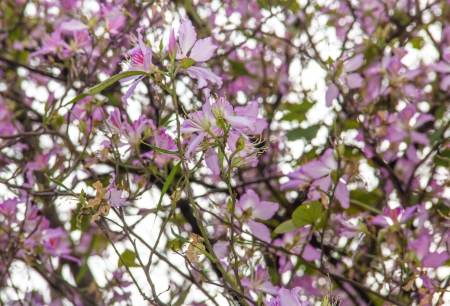 romcaper: The view of spring Bauhinia variegata--a beautiful flower