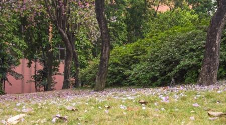 seres vivos: La vista de la primavera Bauhinia variegata - una hermosa flor Foto de archivo