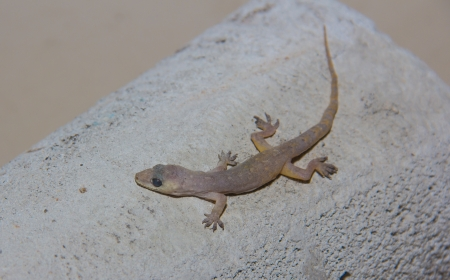 seres vivos: Hemidactylus bowringii - Reptilia vive con la gente
