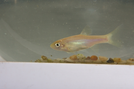 romcaper: crucian in the fish tank,it is very important to biological conversation, as a rare sample