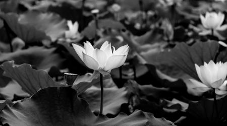 seres vivos: lotus - belleza cl?sica en el parque Foto de archivo