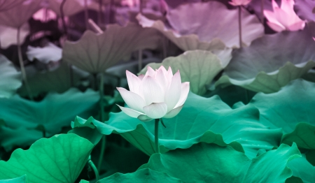 lotus--classical beauty in the park