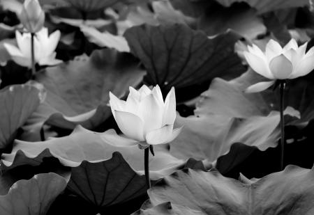 seres vivos: lotus - belleza cl�sica en el parque