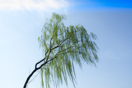 willow tree Stock Photo