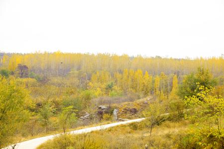 Autumn ginkgo poplar trees in northern China