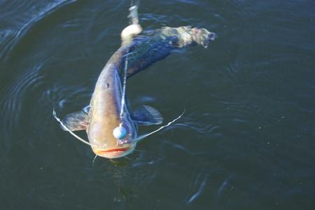 bagre: pez Bagre Foto de archivo