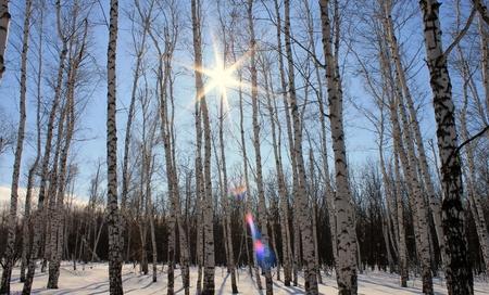 winter birches photo