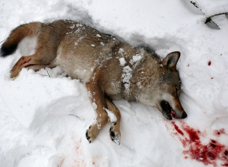 untruth: killed wolf Stock Photo