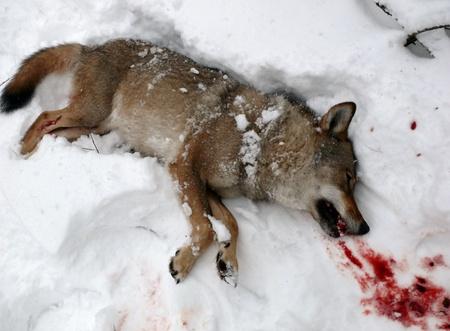 killed wolf Stock Photo