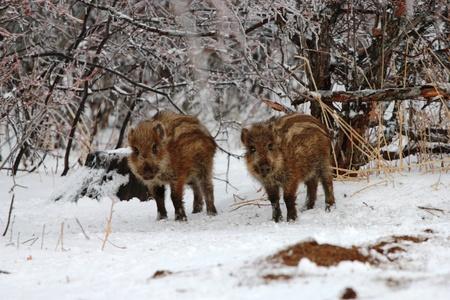 Wild boar in the woods