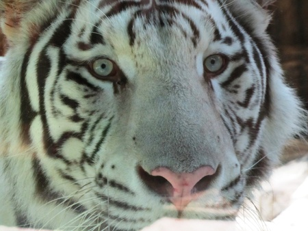 The White Tiger photo