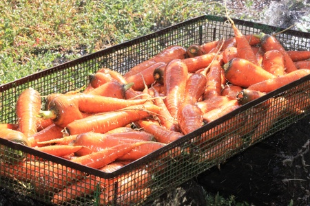 washed: Washed carrots