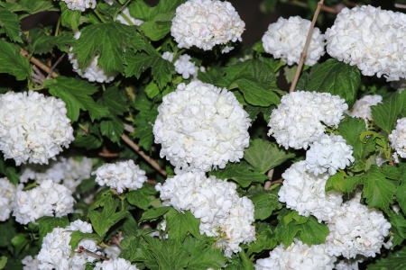 White flowers in close-up Stock Photo - 14273059