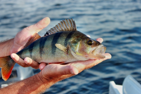 Perch caught in the hand photo