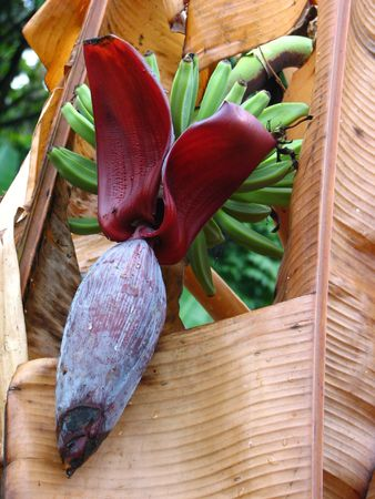 Banana plant with flower