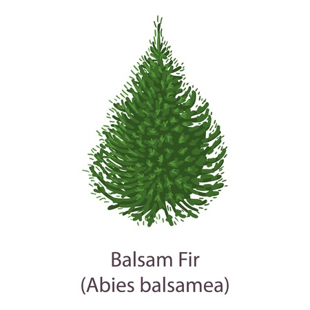 Balsam fir icon. Flat illustration of balsam fir vector icon for web 向量圖像
