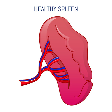Healthy spleen icon. Cartoon of healthy spleen vector icon for web design isolated on white background