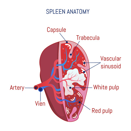 Spleen anatomy icon. Cartoon of spleen anatomy vector icon for web design isolated on white background