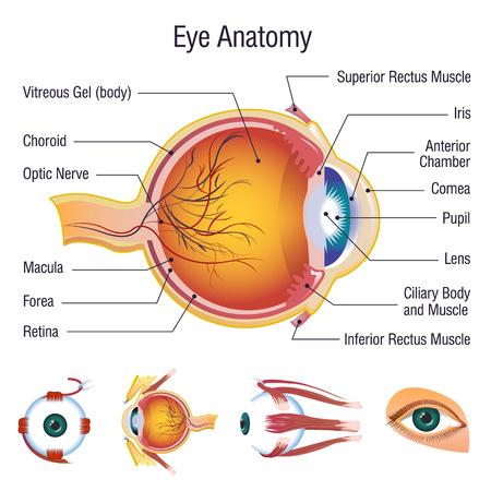 Ensemble d'icônes d'anatomie infographique globe oculaire. Bande dessinée illustration de 5 icônes d'anatomie infographique globe oculaire pour le web Vecteurs