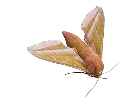 beautiful night butterfly sucking nectar from plants in flight