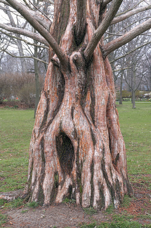 gnarled: trunk of an old gnarled dawn redwood (metasequoia glyptostroboides) Stock Photo