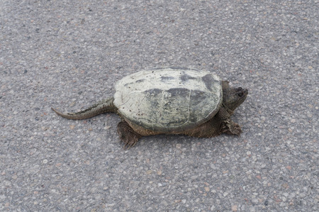 snapping turtle: The closeup of a common snapping turtle sunbathing on the concrete road in a park.