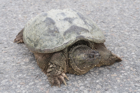 snapping turtle: The front closeup of a common snapping turtle sunbathing on the concrete road in a park.