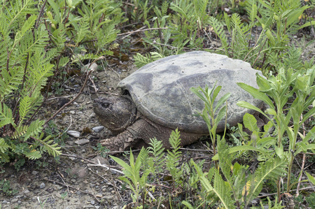 A common snapping turtle sunbathing on the grass ground in a park. Stock Photo
