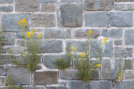 vigorously: Wild grasses with yellow flowers growing out of crevices or cracks over old rock walls